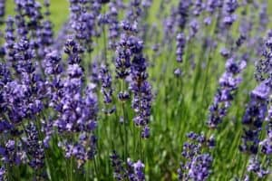 Lavender growing in the wild