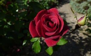 A rose in the sun